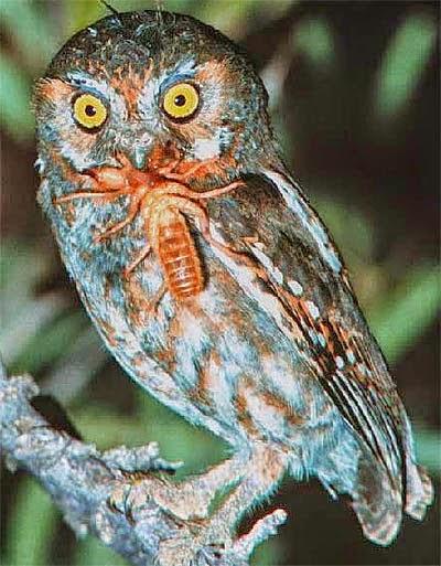 Gambar Cara Merawat Burung Hantu