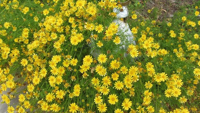 Asteraceae or Compositae Family