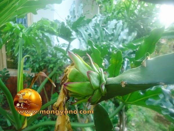 Bakal buah naga yang penyerbukan dari bunga buah naga yang berhasil.