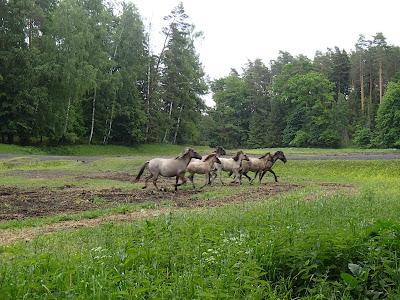 Mazury, żeglowanie, Popielno, stacja PAN, Bełdany, konik polsi, hodowla zachowawcza, tabun