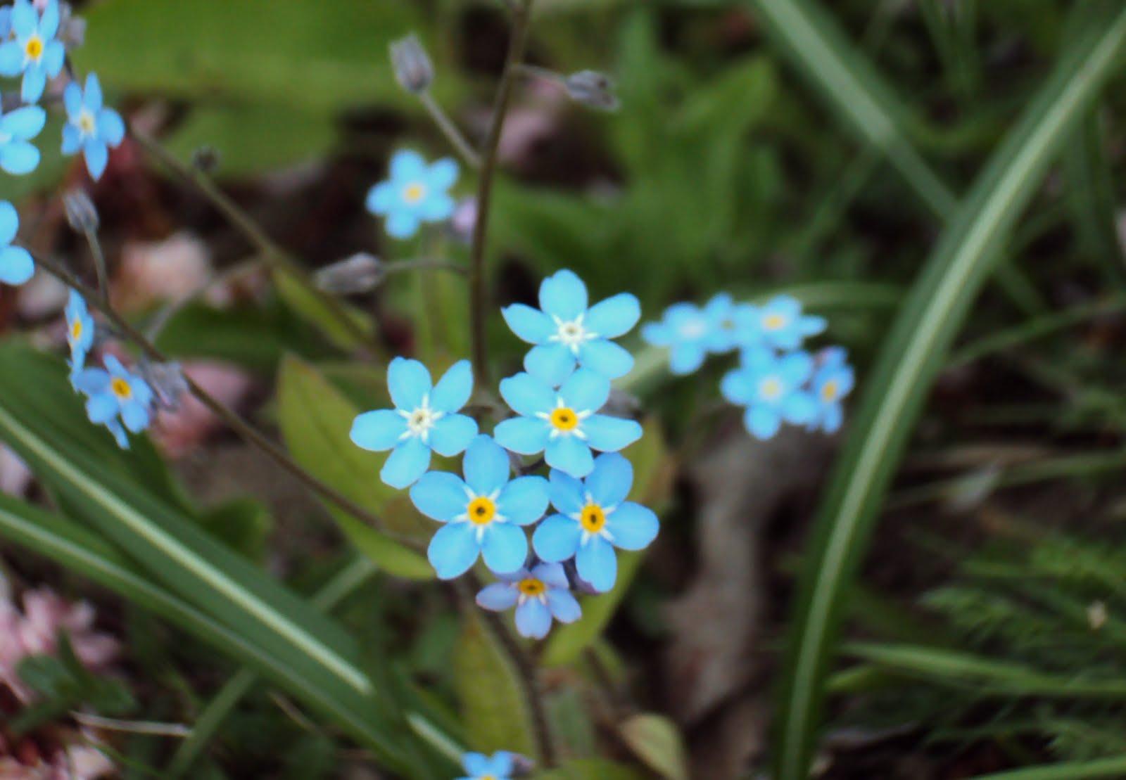 blå blomster i juli