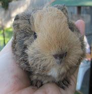 My guinea pig blog