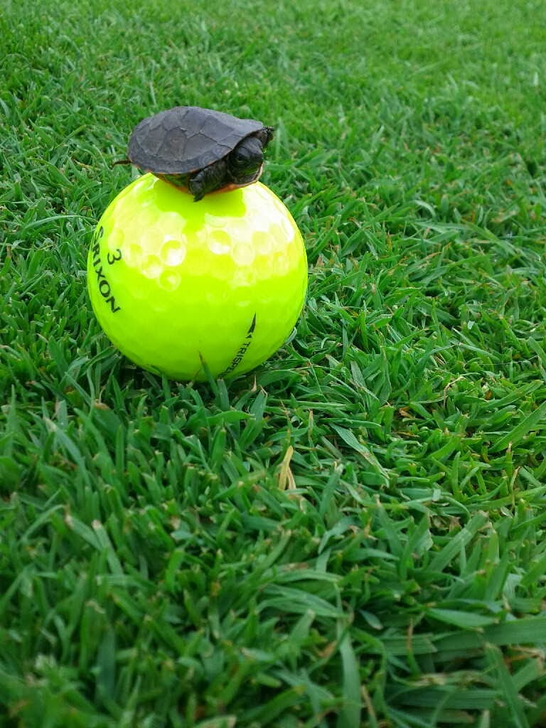 Funny animals of the week - 13 December 2013 (40 pics), mini turtle stands on golf ball