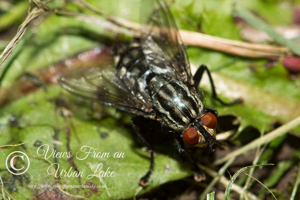 Flesh Fly - Great Holm, Milton Keynes