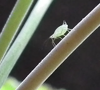 Aphid pondering on Geranium stem