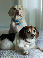 My Beagles Linus and Lucy