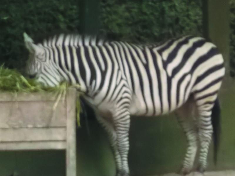 Fauna Gue Mengenal Lebih Dekat Tentang Kuda Zebra