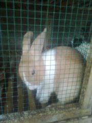 kelinci-5