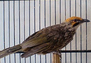 Tips memilih bibit burung kicauan jalak, cucakrawa, decu