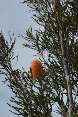 Acorn Banksias (Banksia prionotes)
