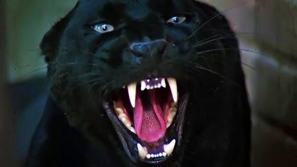 gigante negra: