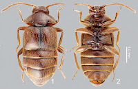 http://sciencythoughts.blogspot.co.uk/2013/09/a-new-species-of-myrmecophilous-rove.html