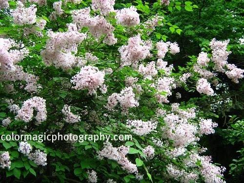 Geranium maculatum Wild Geranium Potted Plants
