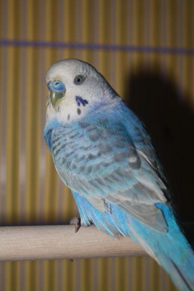 Jual Beli Burung Ciamis Jual Beli Burung Parkit Ciamis