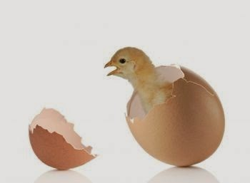 How does an unborn chick breathe inside its shell?
