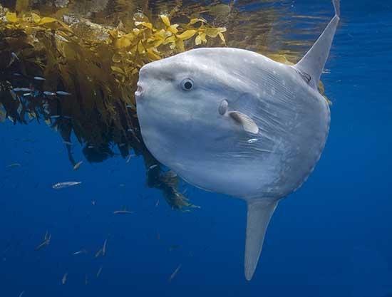 Strangest Marine Sea Creatures Ocean Sunfish Mola Mola