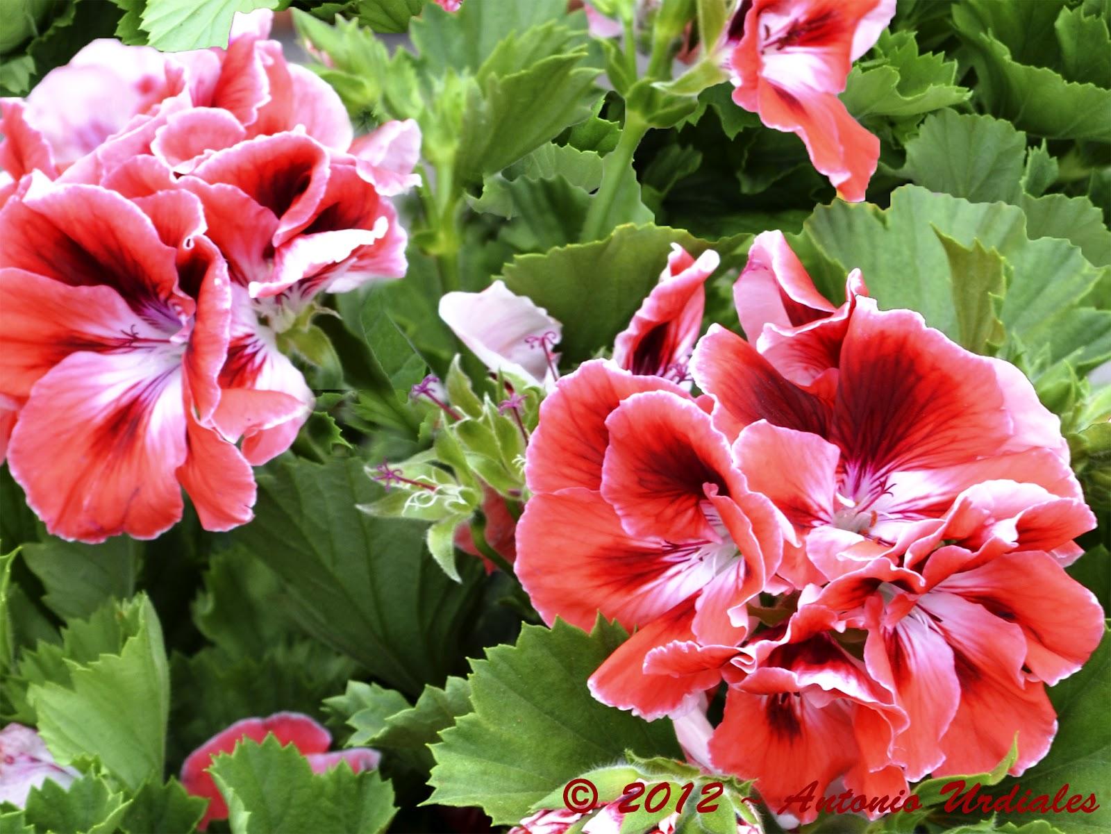 El iris de mi objetivo primavera flores 2 - Geranio de pensamiento ...