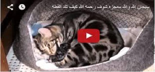 سبحان الله والله معجزه شوف رحمه الله كيف تلد القطه