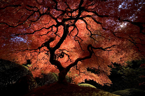 Japanese Maple Tree Leaf.