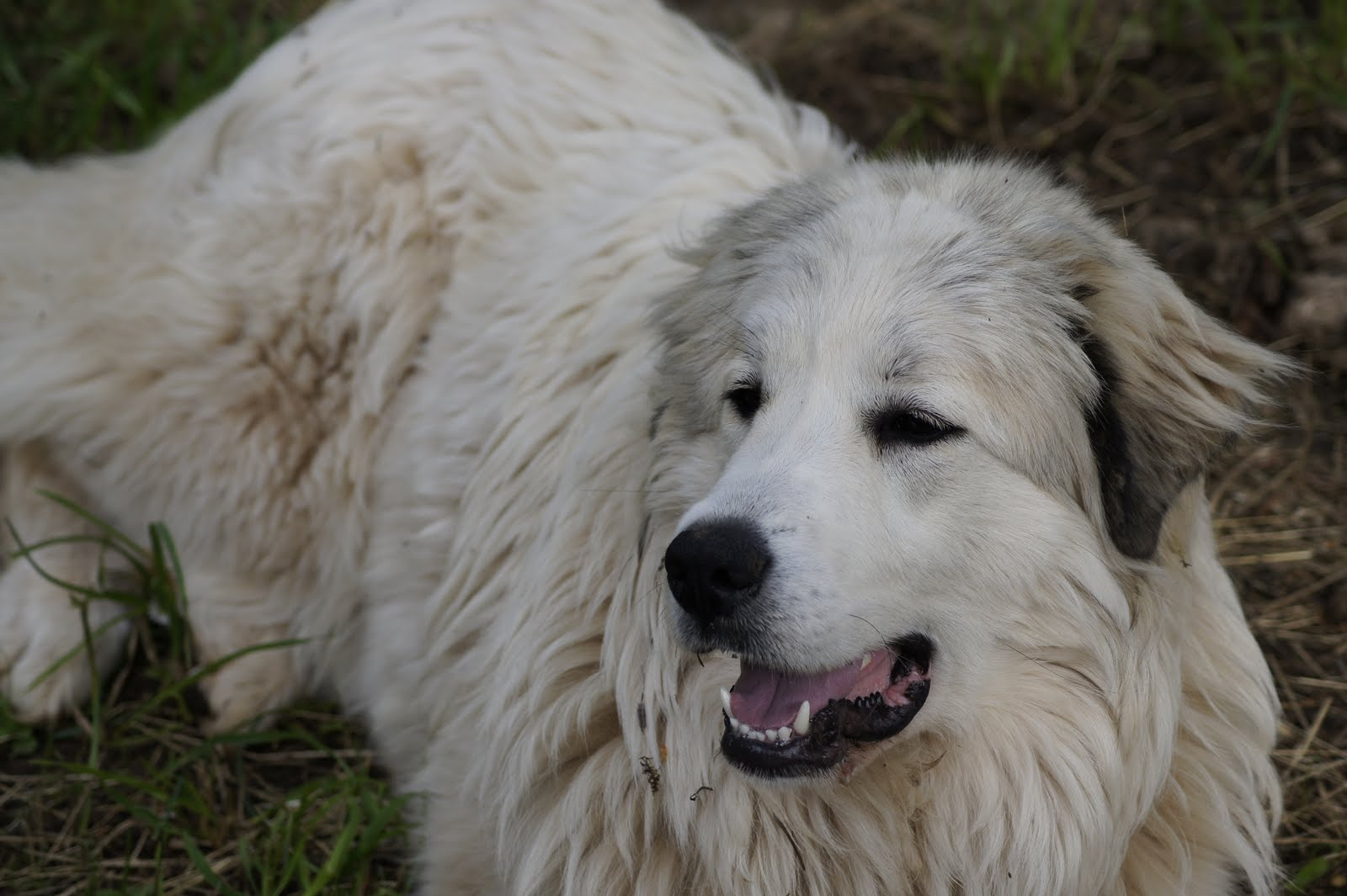 Snowball The Great Pyrenees Dogs Daily Puppy Imagejpg | Dog Breeds ...