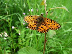 Small Pearl Bordered Fritillary