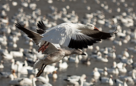 Hunting Snow Geese in the Spring