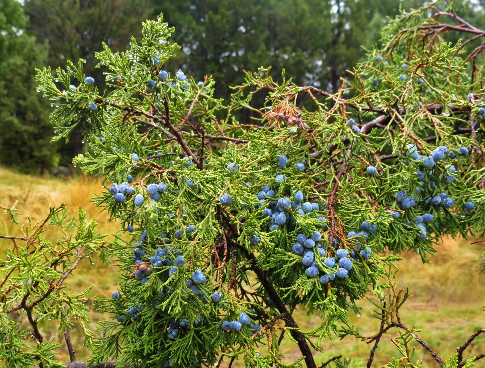 Flora montana rocky mountain juniper for The juniper