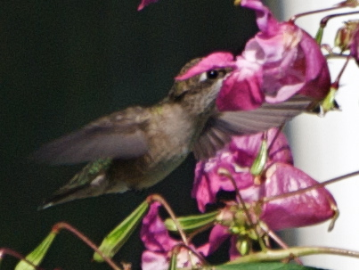 do ruby throated hummingbirds prefer some colors more than others when visiting flowers Ruby-throatred hummingbird fall migration 2013  ruby-throatred hummingbird fall migration 2013  some ruby-throated hummingbirds will follow the gulf coast.