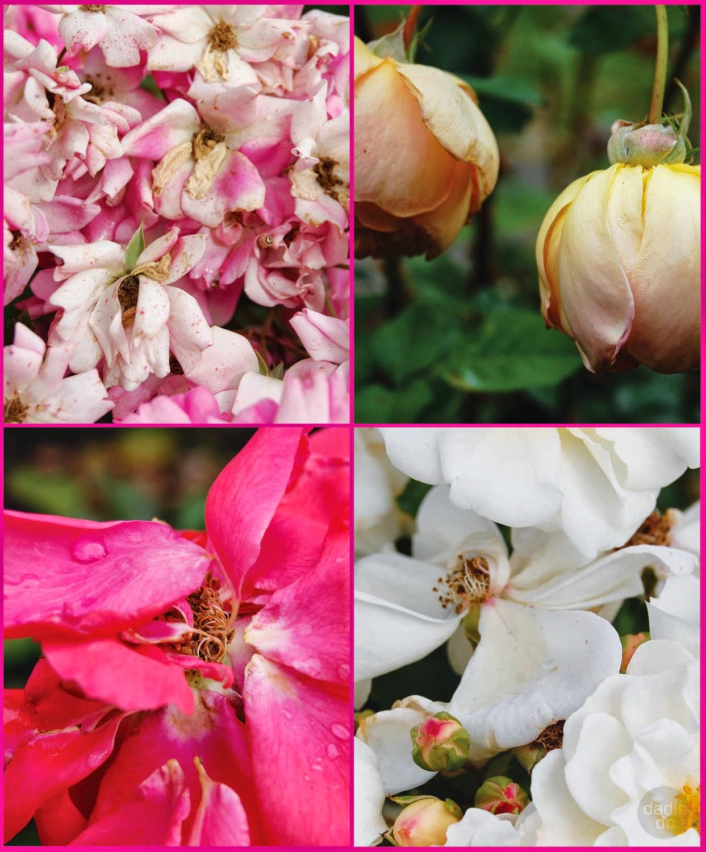 Izzied ziedu karalienes