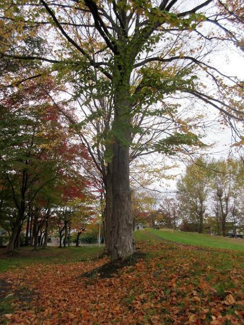公園のカツラの木