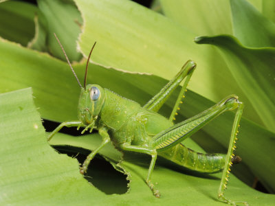 What do grasshoppers eat and drink - photo#22