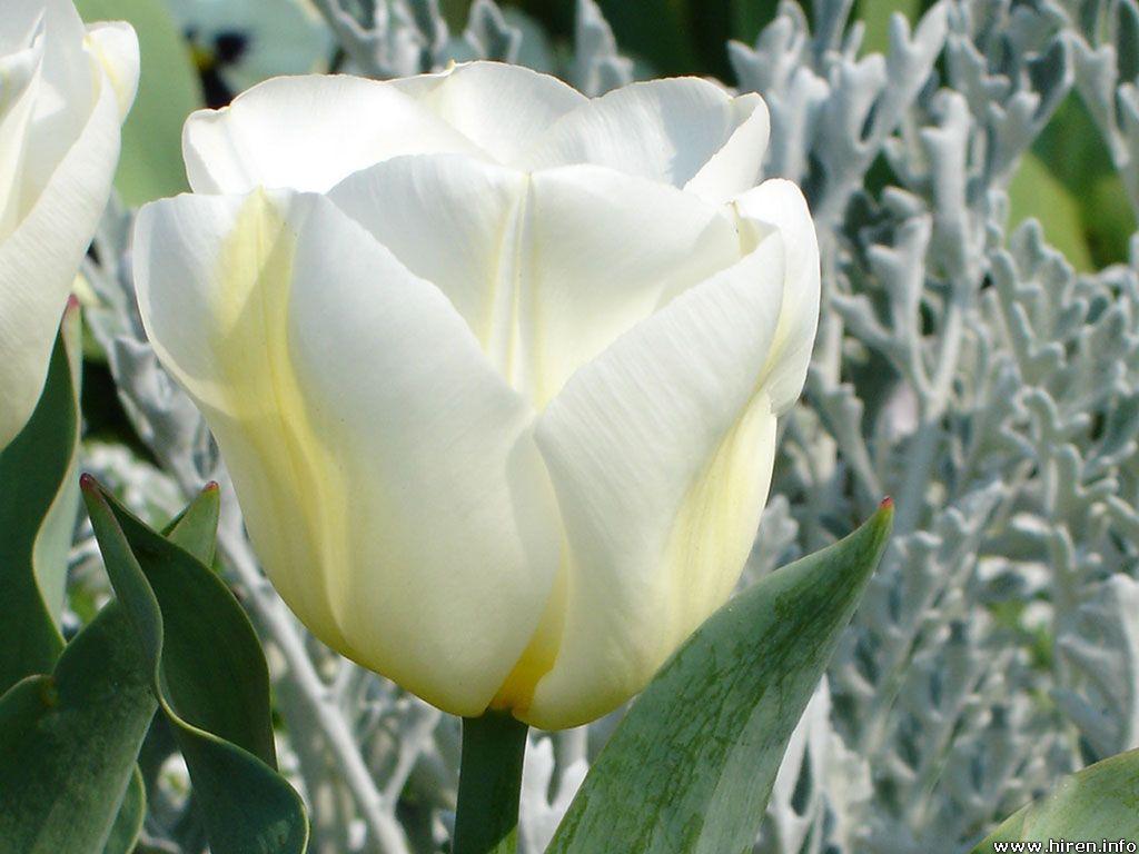 Beautiful Wallpapers: tulip flower wallpaper White Tulip Flower