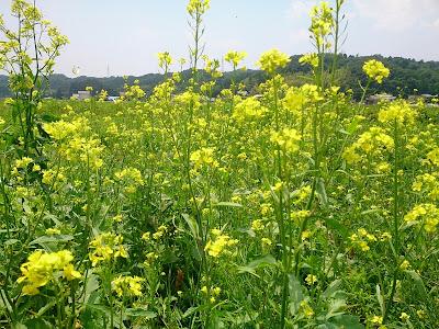 ブラックマスタードの菜の花