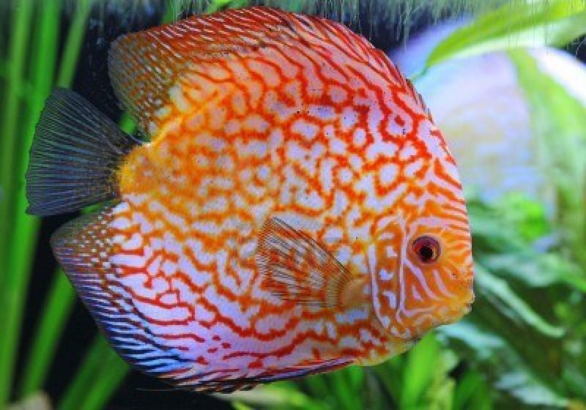 Discus fish life of sea for Coolest freshwater fish