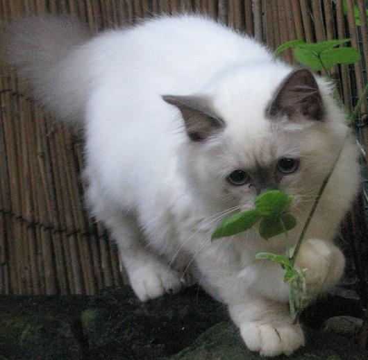 birman kitten pictures - photo #12