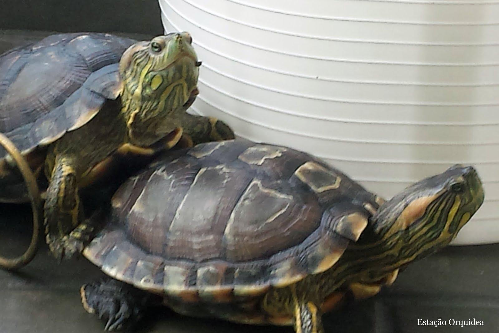 Tartarugas tigre d água
