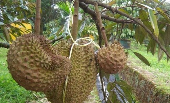 Durian Otong (Parung, Bogor) - www.jurukunci.net