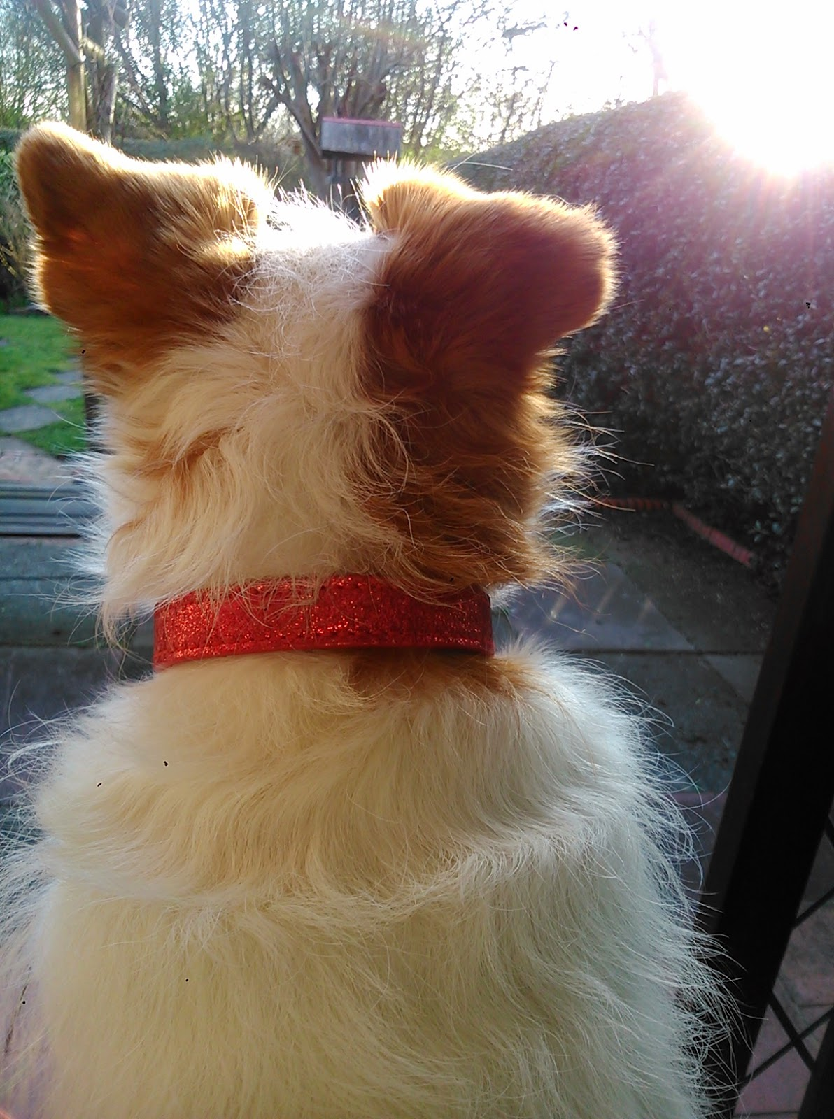 Jack Russell terrier looking out into the garden in springtime at sunset