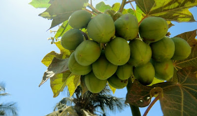 Non-toxic jatropha fruit cluster