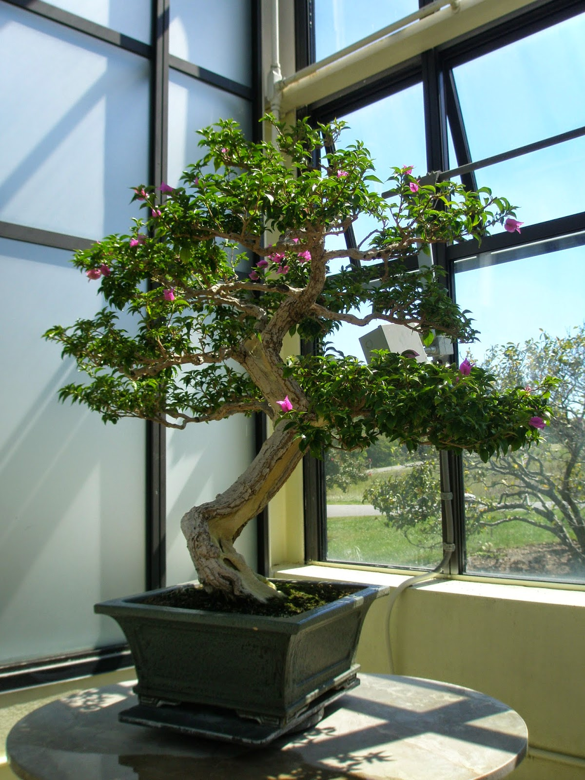 The best indoor trees for Bonsai indoor