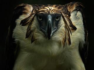Philippine Eagle image