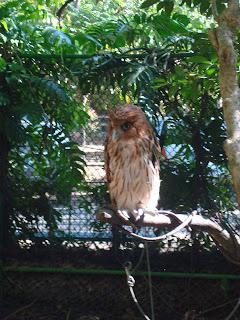 brown owl in Zoobic Safari