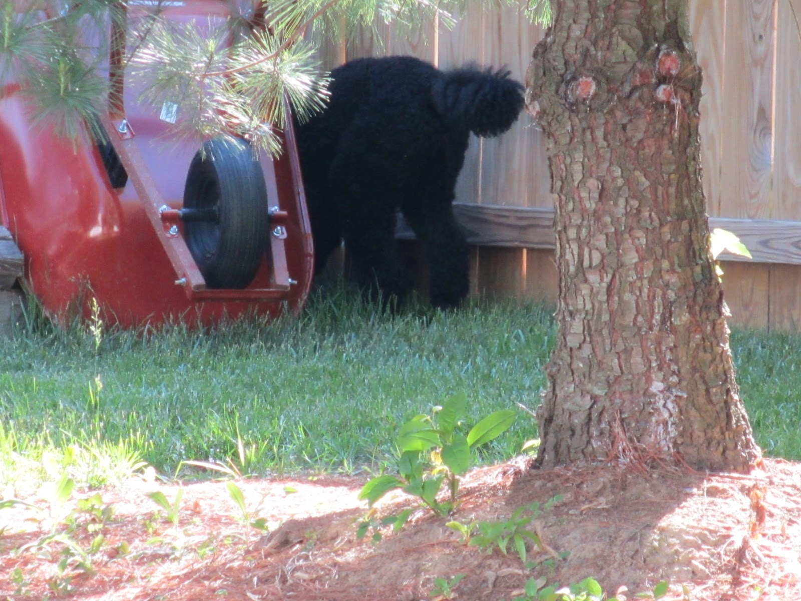 not a standard poodle may 2013