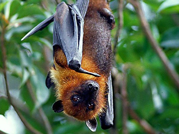 Ovaltes: Flying Foxes and Golden Crowned Flying Fox Habitat In ...
