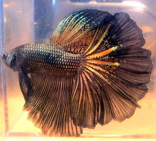 Jenis Ekor Rosetail Ikan Cupang