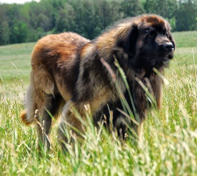 LEONBERGER GREAT PYRENEES_MYCLIPTA