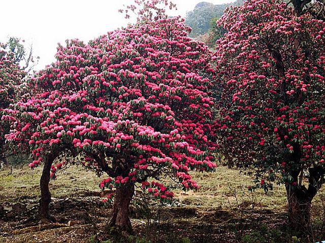 rododendrony w nepalu - zdjęcia z wyprawy trekkingowej