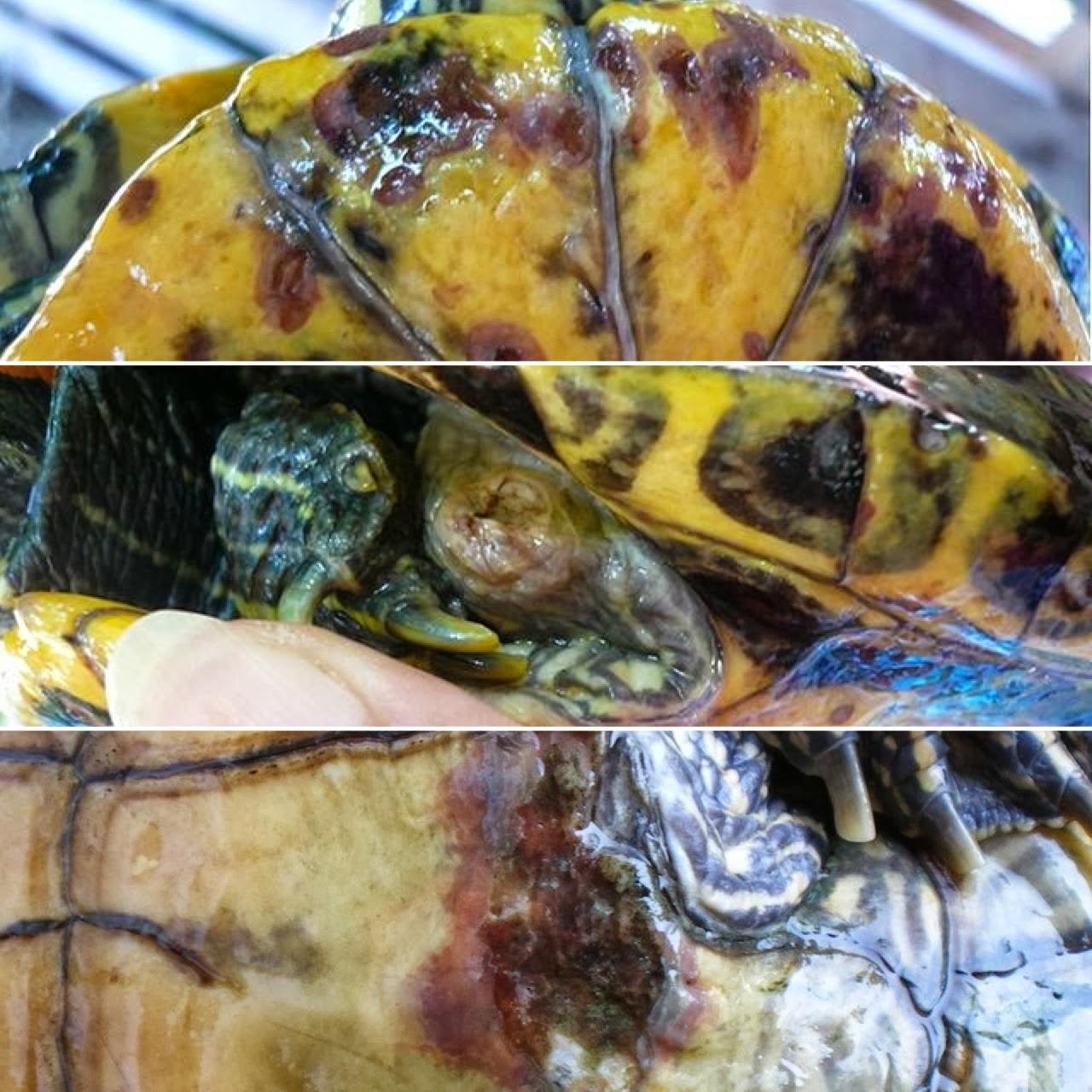 Io tartaruga trachemys patologie del carapace e del for Vitamina a per tartarughe