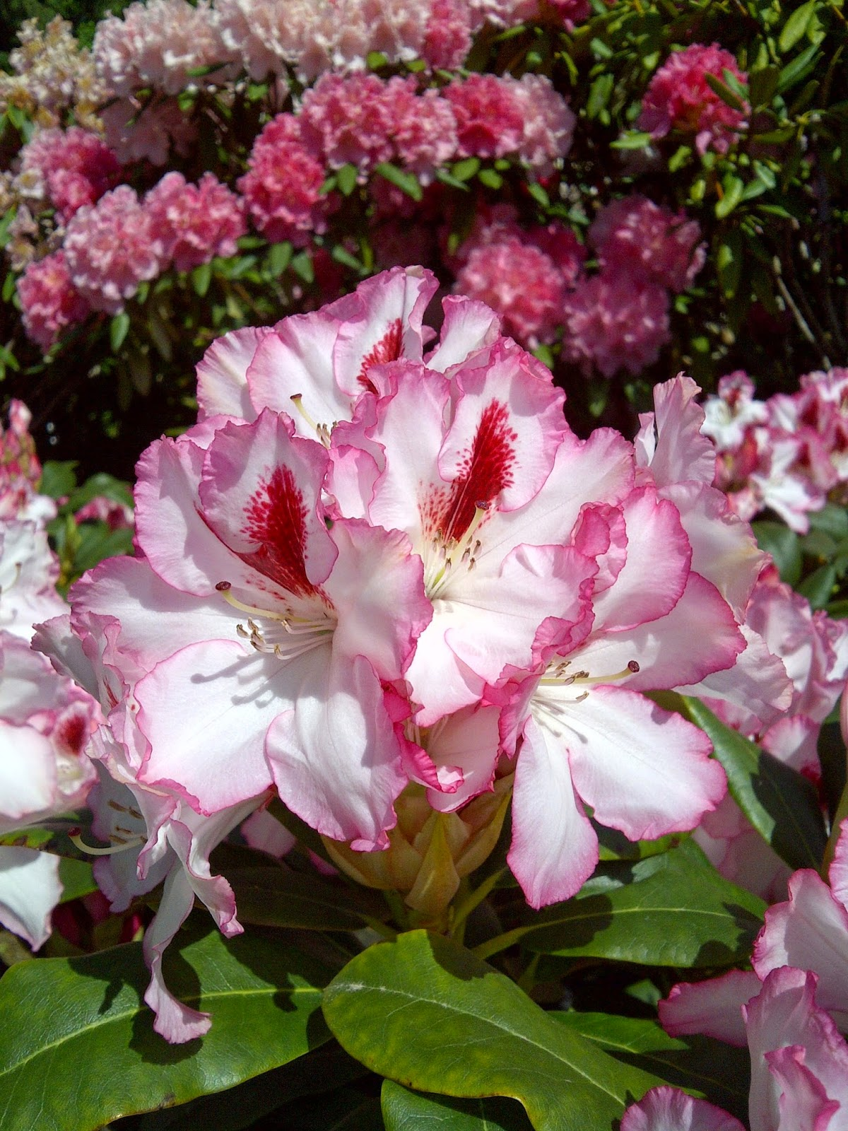 Beautiful Hachmann's Charmant Rhododendron