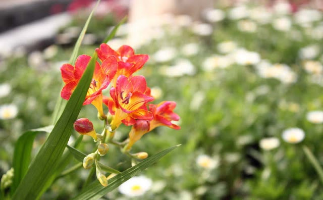 Freesia Flowers Pictures